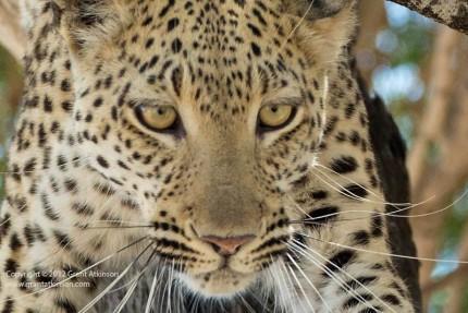 Grant Atkinson Chitabe Leopard