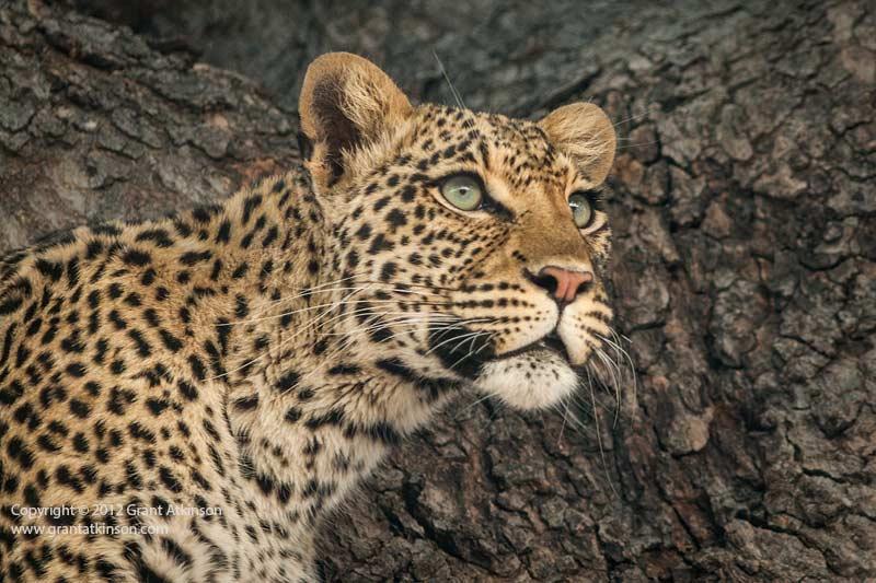 Grant Atkinson Savuti Leopard Jackalberry