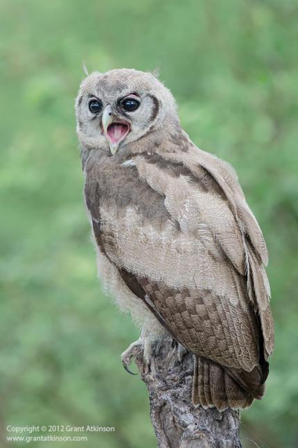 Grant Atkinson Giant eagle owl Savuti