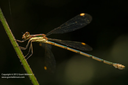 Damselfly.  Tokina AT-X 100 macro lens, Canon 7D.  Shutter speed 1/250sec at f/8.0, Iso 400. Flash, handheld.