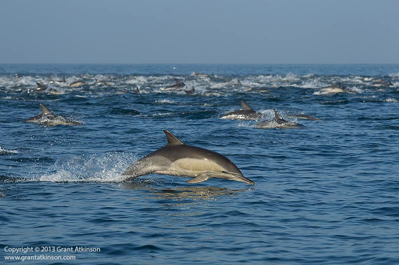 Common dolphins. Canon EF 70-200 f4 L IS and Canon 1Dmk4. Shutter speed 1/3200 at f6.3, Iso 640. Click for larger view