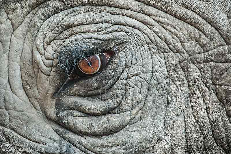 African elephant. Canon EF 70-200 f4 L IS and Canon 1Dmk3. Shutter speed 1/250sec at f4.5, Iso 800. Click for larger view
