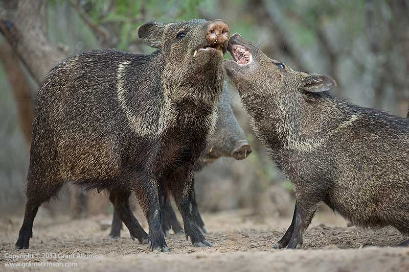 A scuffle amongst a family group of javelina, South Texas. Canon 5Dmk3, Canon EF 70-300 L f4-5.6. Shutter speed 1000 sec at f5.6, Iso 1600. Focal length 236mm.