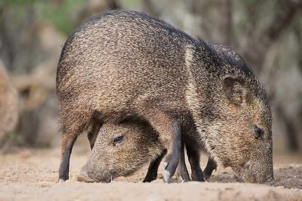 Canon 6D, EF 70-300 5.6 L IS.  Shutter speed 1/800sec at f6.3. Iso 1600.  Collared peccaries. Image processed in aCR, sharpened, no noise reduction applied.