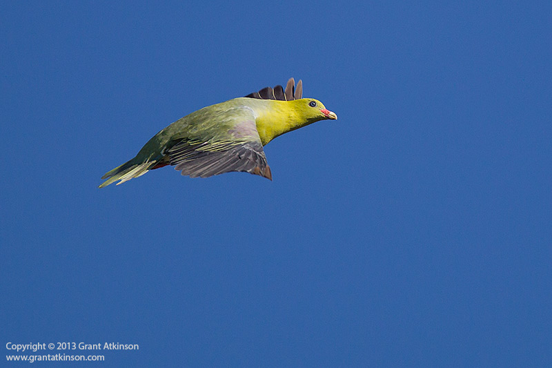 Canon EF 400 DO IS and Canon 1Dmk4. African green pigeon. 1/5000sec at f4, Iso 500. Click for larger view
