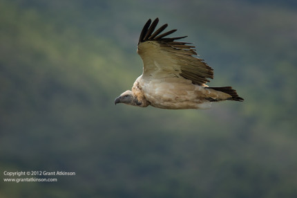 Canon EF 400 DO f4 plus 1.4x ii extender, Canon 5Dmk3.  Cape vulture, adult. 1/2000sec at f5.6, iso 400