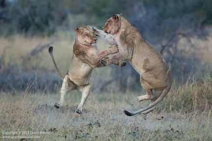 Lions At Play.  Canon EF 200-400 f4L and Canon 5Dmk3.  Focal length 400mm.  Shutter speed 1/800sec at f4, Iso 3200