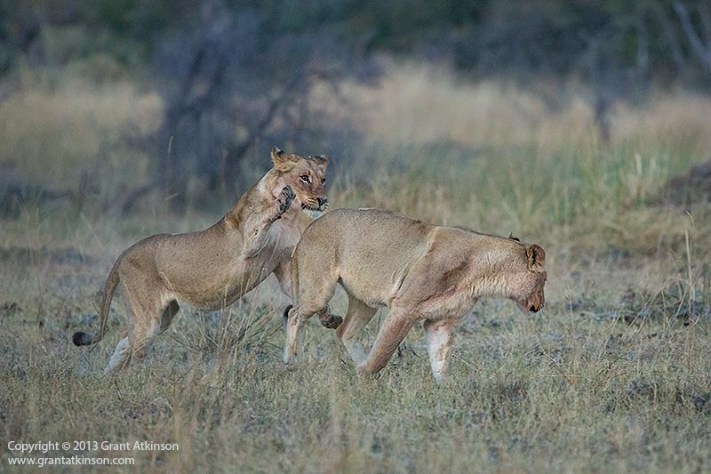 Lions chasing. Canon EF 200-400 f4L and Canon 5Dmk3. Focal length 400mm. Shutter speed 1/1000sec at f4, Iso 3200. Click for larger view