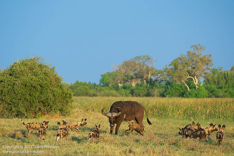 African Wild Dogs And The Thrill Of The Chase