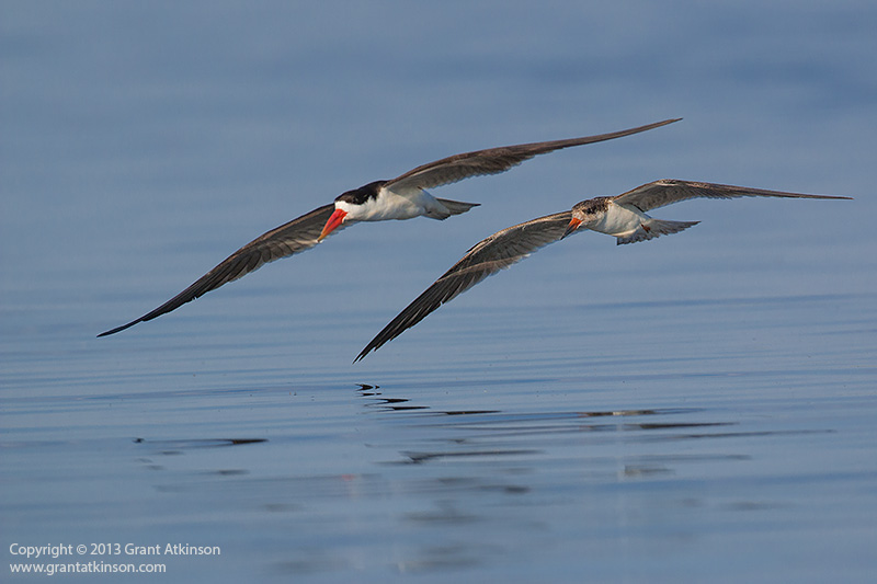 Canon EOS 70D and EF 500f4L IS lens. African skimmers 1/4000sec at f5.6, Iso 400. Click for larger view