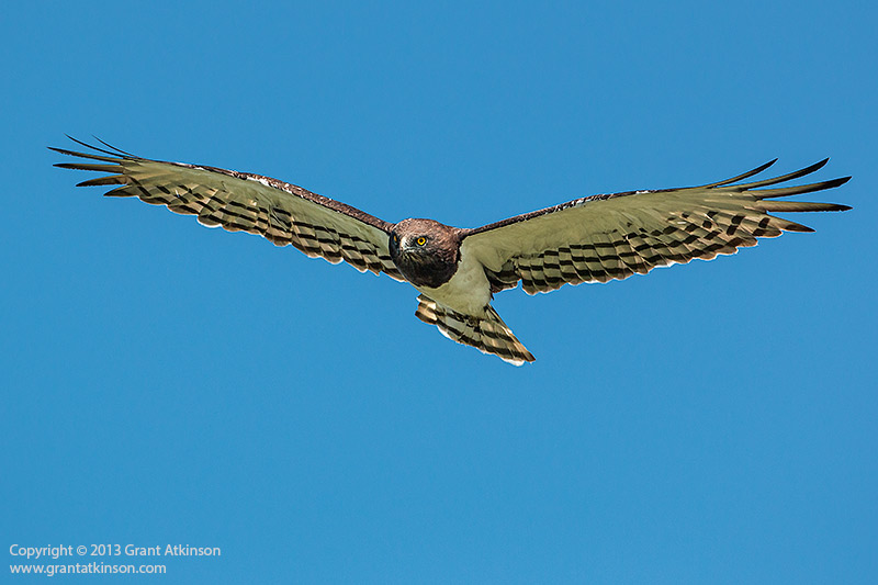 Black-chested snake eagle. EOS 70D and EF 500f4L IS. Shutter speed 1/1600sec at f5.6, Iso 200. Cropped from 20 to 13mpixels, downsized for web. Click for larger view