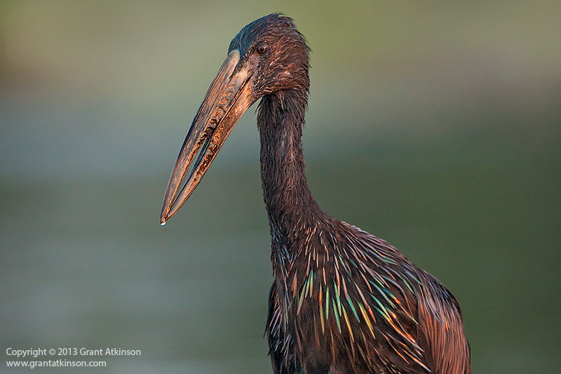 Openbilled stork. Canon EOS 70D and EF 500f4L IS. Shutter speed 1/250sec at f4, Iso 800. Cropped from 20mp to 5mp, downsized for web. Noise reduction applied. Click for larger view