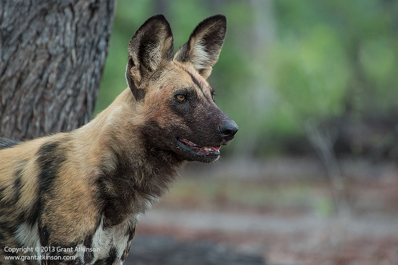 African wild dog. Canon EOS 70D and Canon EF 70-300L IS. Shutter speed 1/320sec at f5.6, Iso 1000. Click for larger view