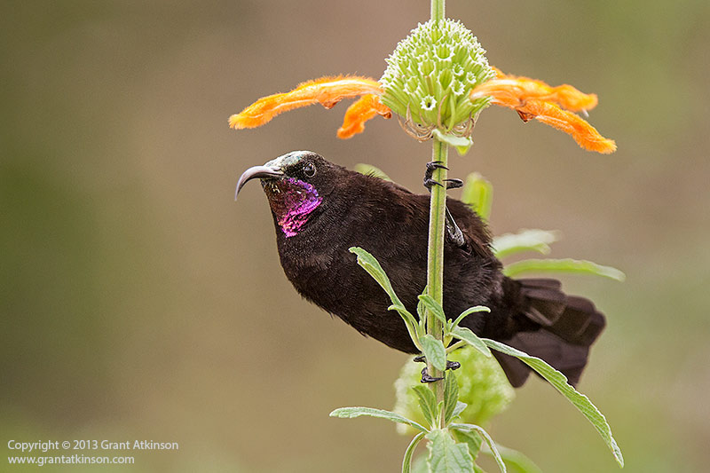 Amethyst sunbird. Canon EOS 7D and EF 300f2.8L IS plus 1.4x ii extender. Shutter speed 1/250sec at f4, Iso 800. Cropped from 18mp to 12mp, downsized for web. No noise reduction. Click for larger view