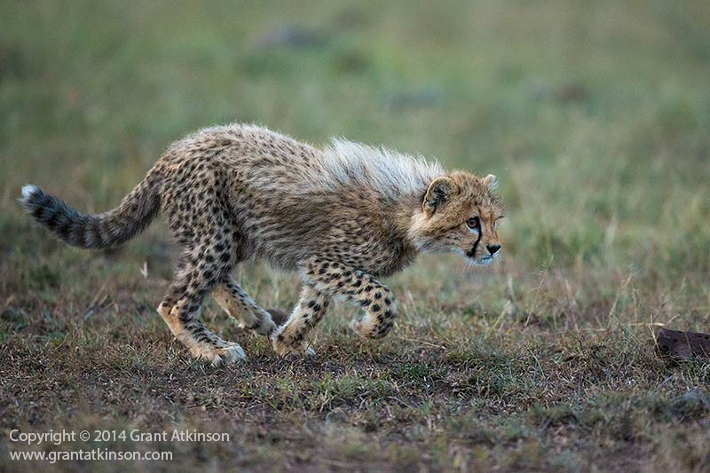 Cheetah cub, Kenya. Eos 1DX and EF 500f4L IS ii. Shutter speed 1/1000sec at f4, iso 5000. Handheld. Ai Servo and very low ambient light for action photography. Click for larger view