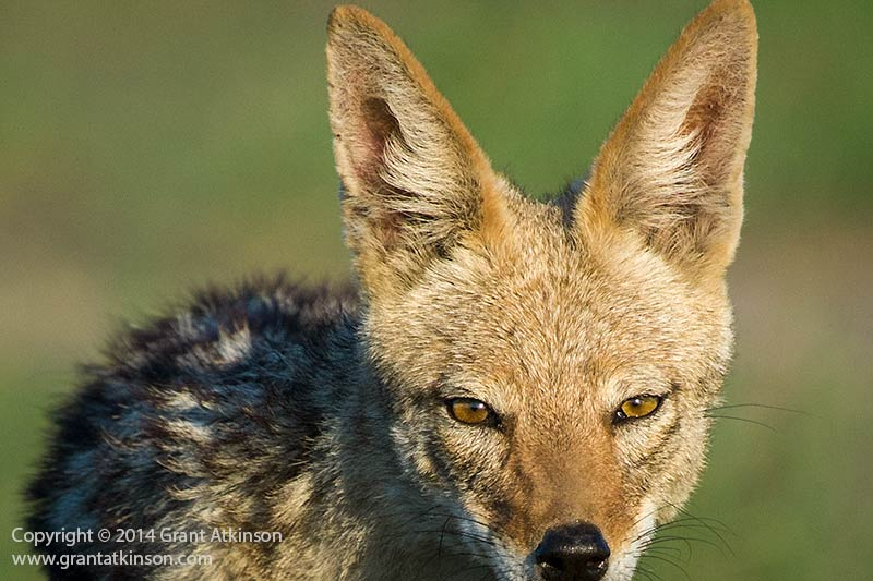 Black-backed jackal, Botswana. Canon EF100-400L f4.5-5.6 IS and 40D Shutter speed 1/1000sec at f7.1, Iso 400. Focal length 375mm. Cropped to 1.2mpixels from 10mpixels. Click for larger view