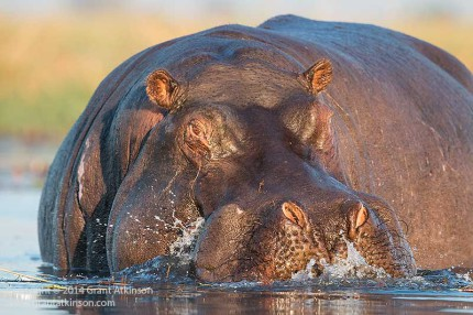 Hippo, Chobe River. Canon 70D and EF 500f4L IS ii. Shutter speed 1/800sec at f5.6, Iso 800. Click for larger view