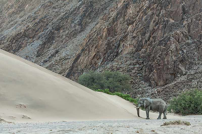 Desert adapted elephant, Namibia. Canon EF 100-400L Is and EOS 5Dmk3. 1/400sec at f/5.6, Iso 800. Focal length 130mm. Click for larger view