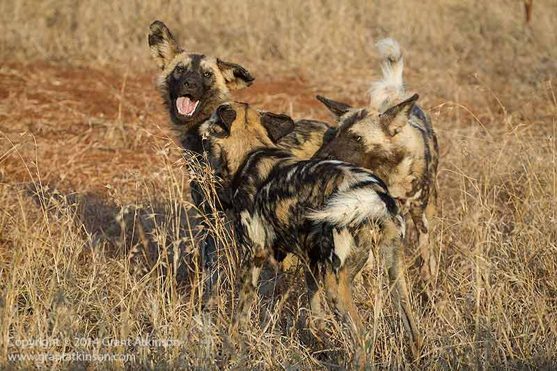 Wild dogs at play. Shutter speed 1/1600sec at f5.6, Iso 800. Canon 1Dmk4 and EF 70-300L lens. Click for larger view