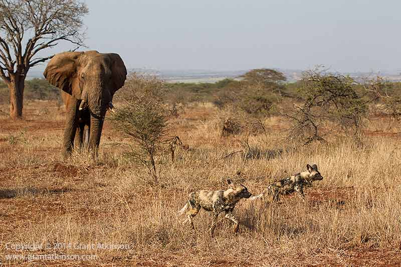 Elephant and wild dogs. Shutter speed 1/2500sec at f5.6, Iso 800. Canon 1Dmk4 and EF 70-300L lens. Click for larger view