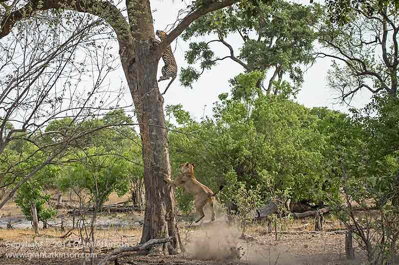 The male leopard escapes by racing up the tree