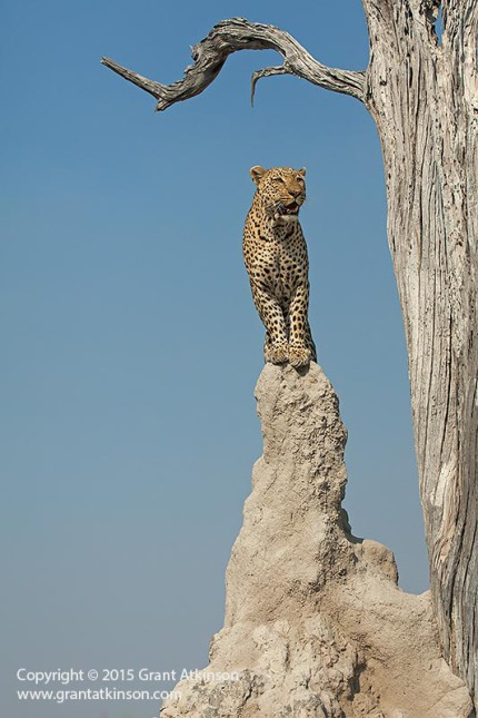 Standing tall, to survey the area for possible prey