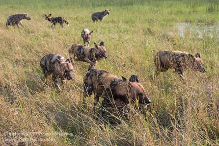 Wild dogs leaving the area, with spotted hyaena in the distance. Canon 5dmk3 and EF 70-300L IS. Shutter speed 1/500sec at f10, iso 800. Click for larger view