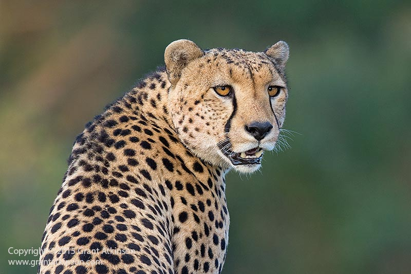 Male cheetah listening for a response. Canon 5dmk3 and EF 500L f4 ISii. Shutter speed 1/640sec at f5, iso 1000