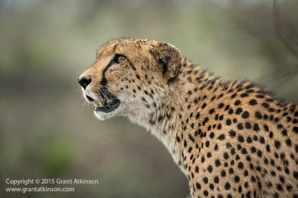 Male cheetah, South Africa. Canon Ef 100-400L f4.5-5.6 IS ii at 400mm. Shutter speed 1/400sec at f5.6, Iso 3200, handheld. Click for larger view