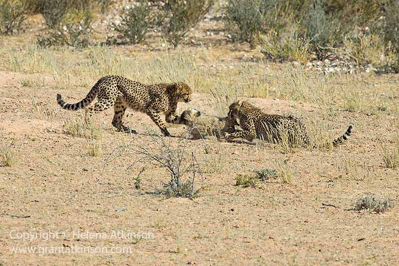 Bat-eared fox (Otocyon megalotis) and cheetah (Acinonyx jubatus), Kgalakgadi, South Africa. Image with Canon 5Dmk3 and EF 500l f4 IS ii. Shutter speed 1/8000sec at f5, iso 800.