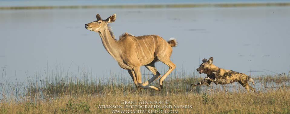 Wild dog chasing kudu, Botswana