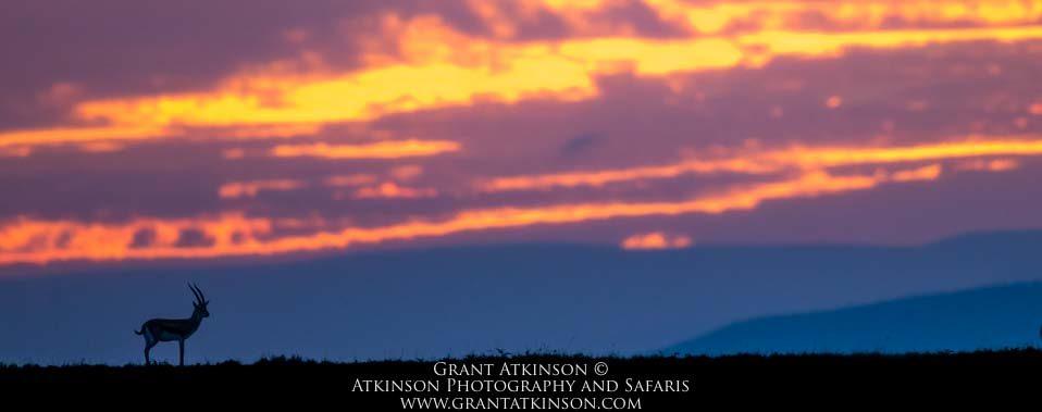 Thomson's gazelle at sunrise, Kenya