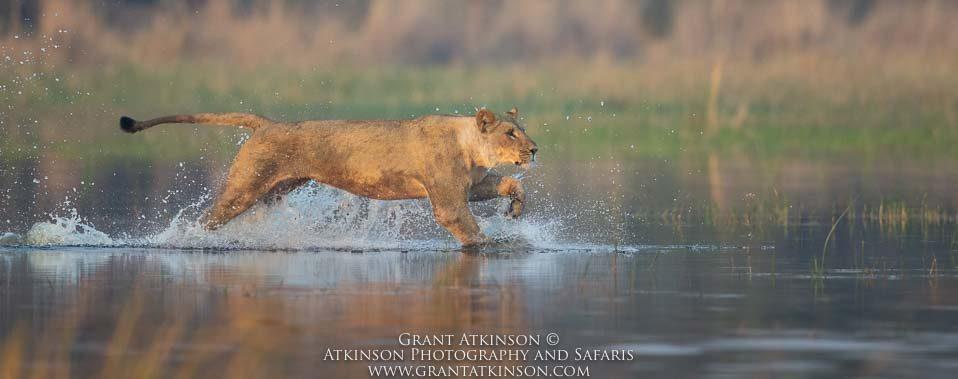 Lioness crossing Selinda channel