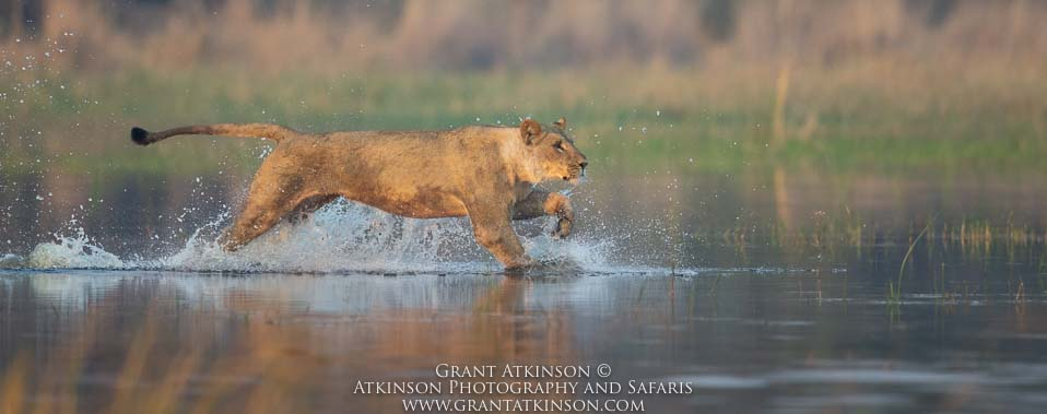 Lioness crossing Selinda channel