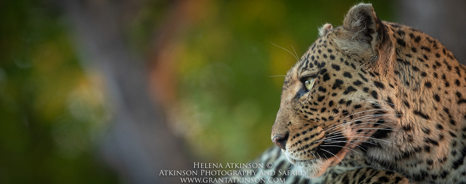 Botswana leopard