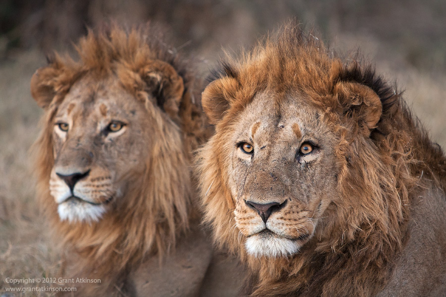 Male Lion Coalitions - More Power Than One